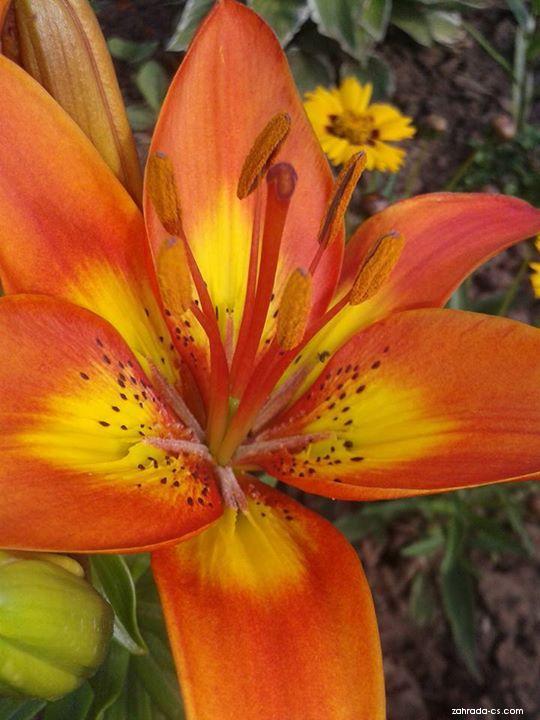 Lilie Bright Joy - Asijský nízký hybrid (Lilium x hybridum)