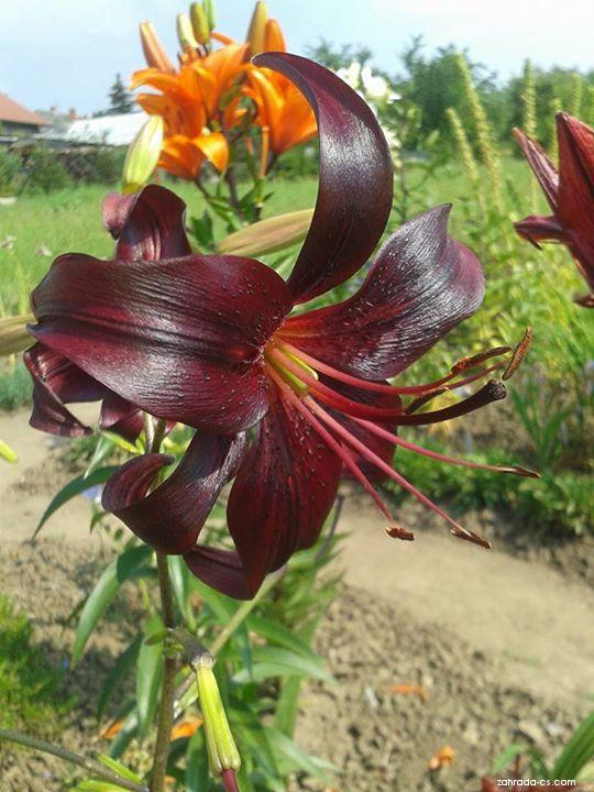 Lilium x hybridum Night Flyer (lilie)