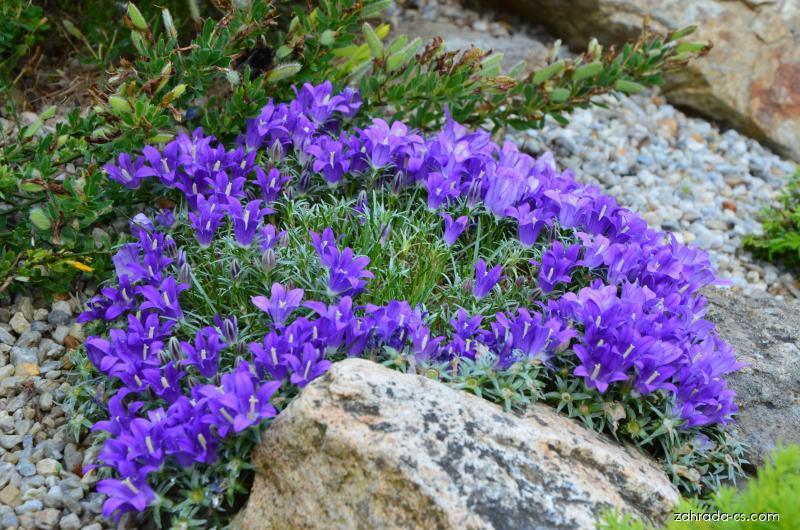 Modroušek nízký (Edraianthus pumilio)