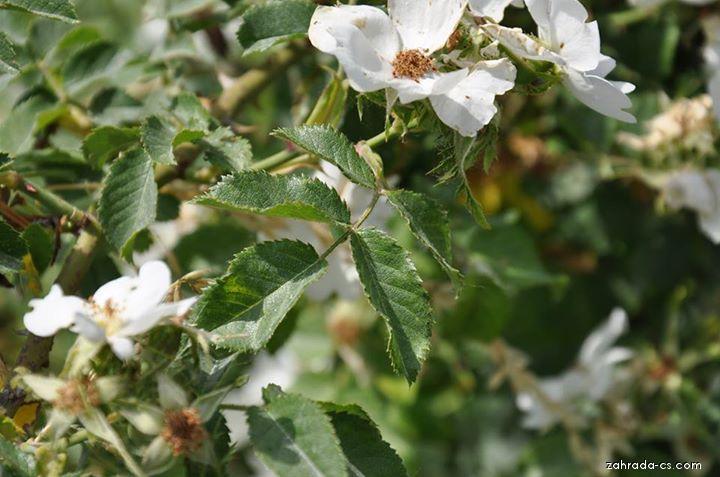 Růže polní (Rosa agrestis)