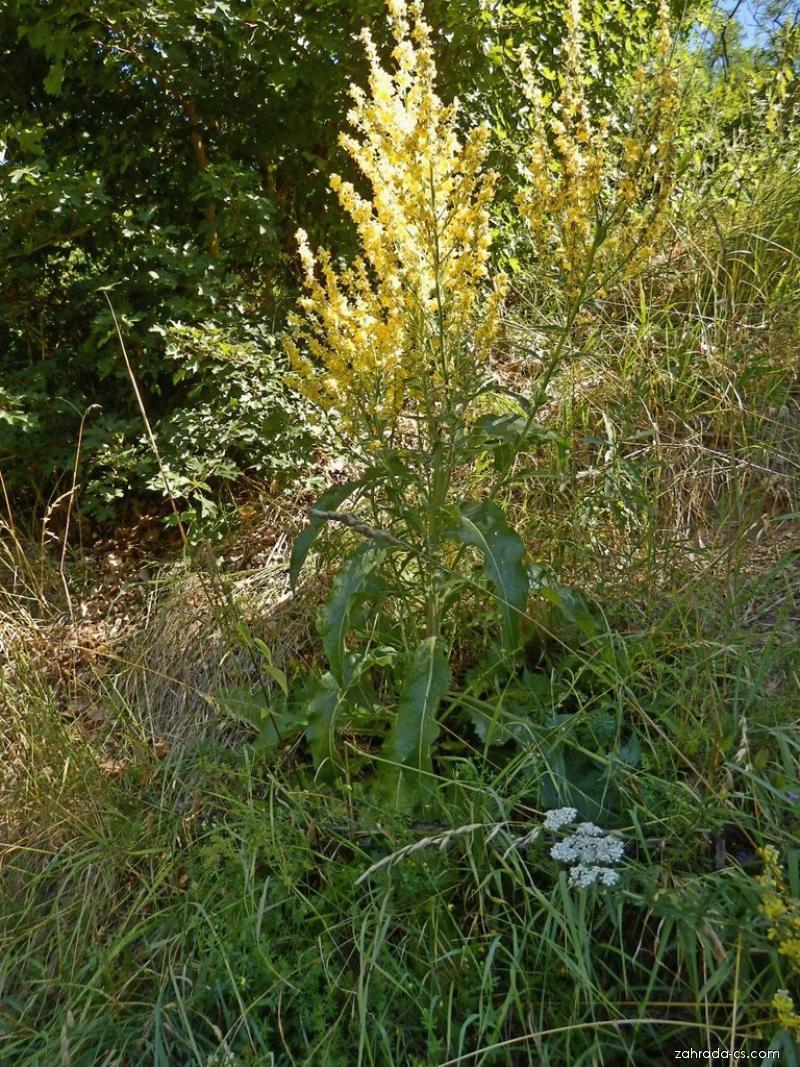 Divizna knotovkovitá (Verbascum lychnitis)