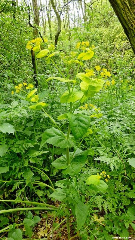 Tromín prorostlý (Smyrnium perfoliatum)