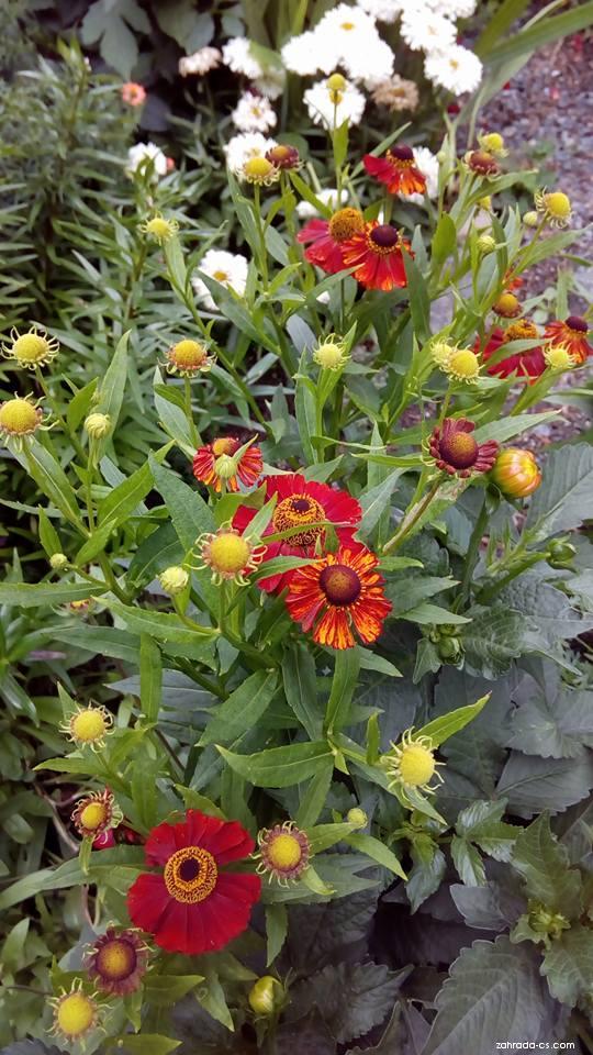 Záplevák zahradní Rubinzweg (Helenium x hybridum)
