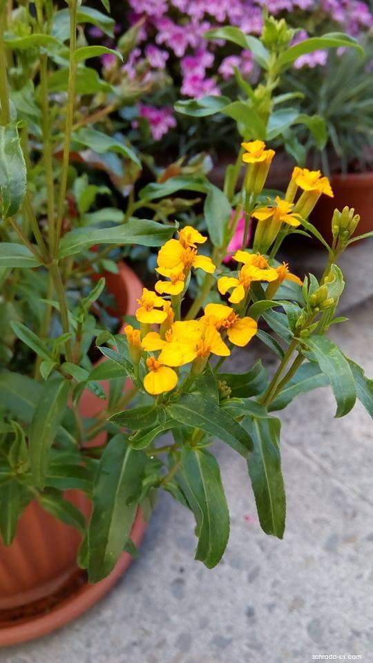 Aksamitník lesklý (Tagetes lucida)