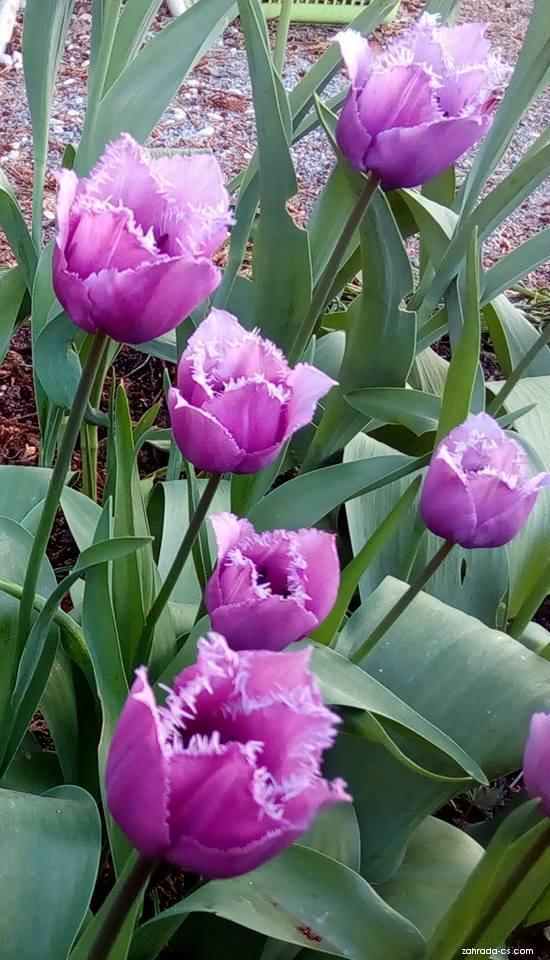 Tulipán Matchpoint - Třepenité tulipány (Tulipa x hybrida)