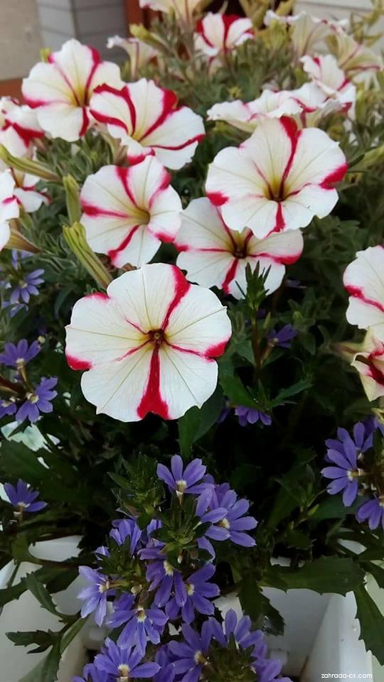 Petúnie Amore (Petunia x hybrida)