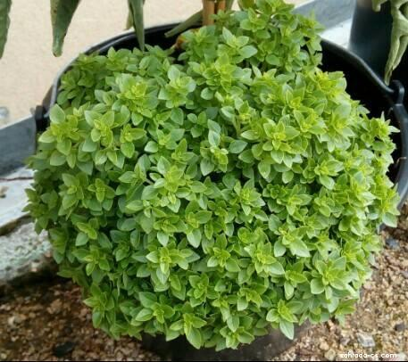 Bazalka pravá - Ocimum basilicum Greco a Palla