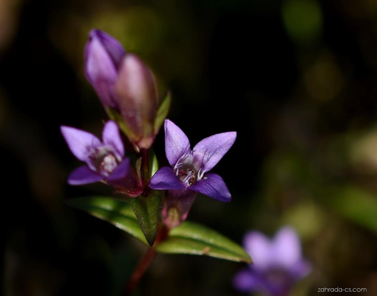 Hořeček nahořklý pravý (Gentianella amarella subsp amarella)