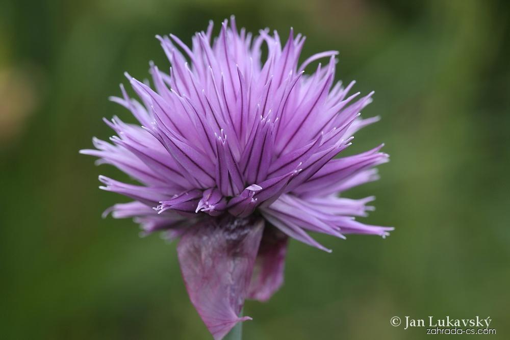 Pažitka pobřežní horská - květ (Allium schoenoprasum subsp alpinum)