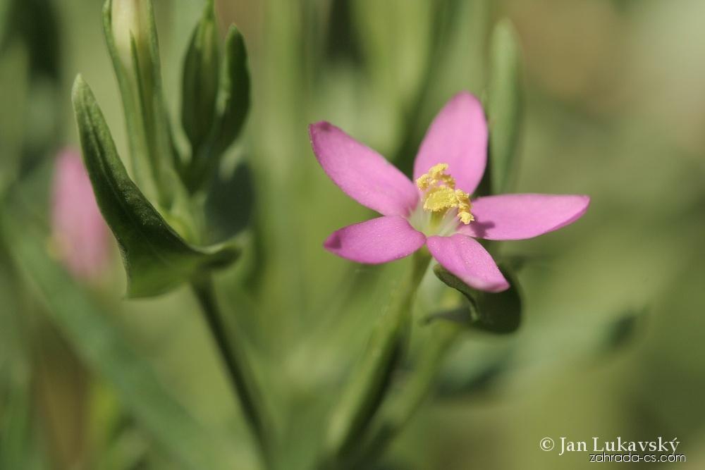 Zeměžluč přímořská - květ (Centaurium littorale)