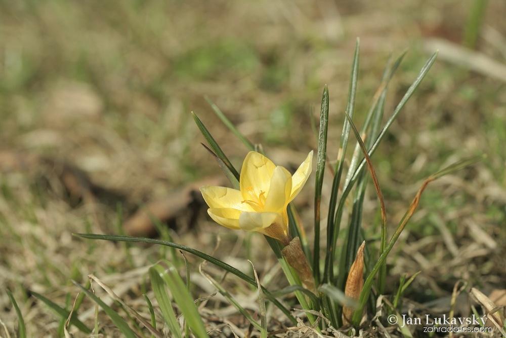 Šafrán zlatý (Crocus chrysanthus)