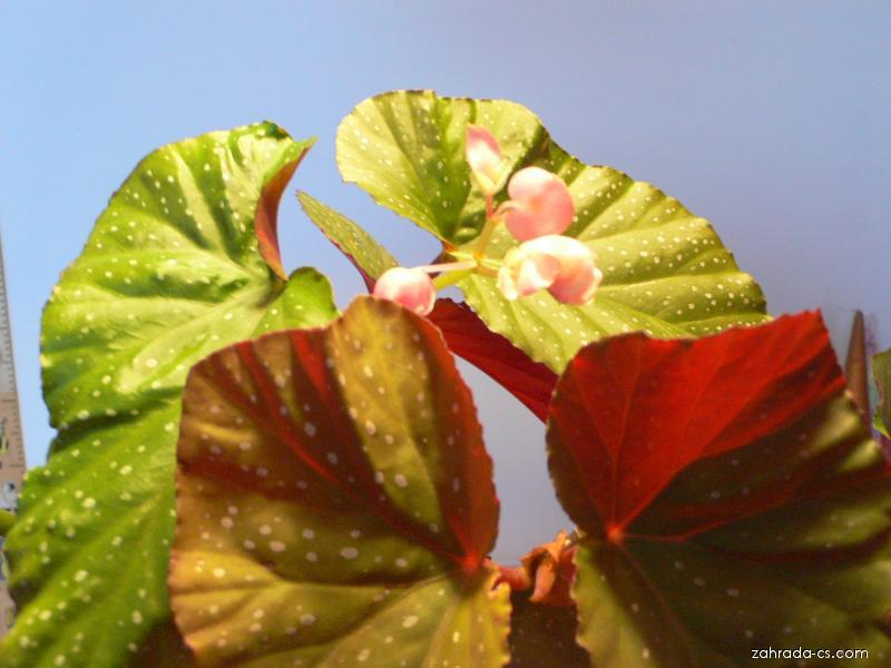 Begonie korálová (Begonia)