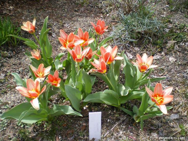 Jmenovky ( Tulipa kaufmaniana )