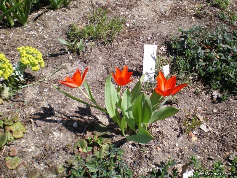 Jmenovky ( Tulipa praestans )