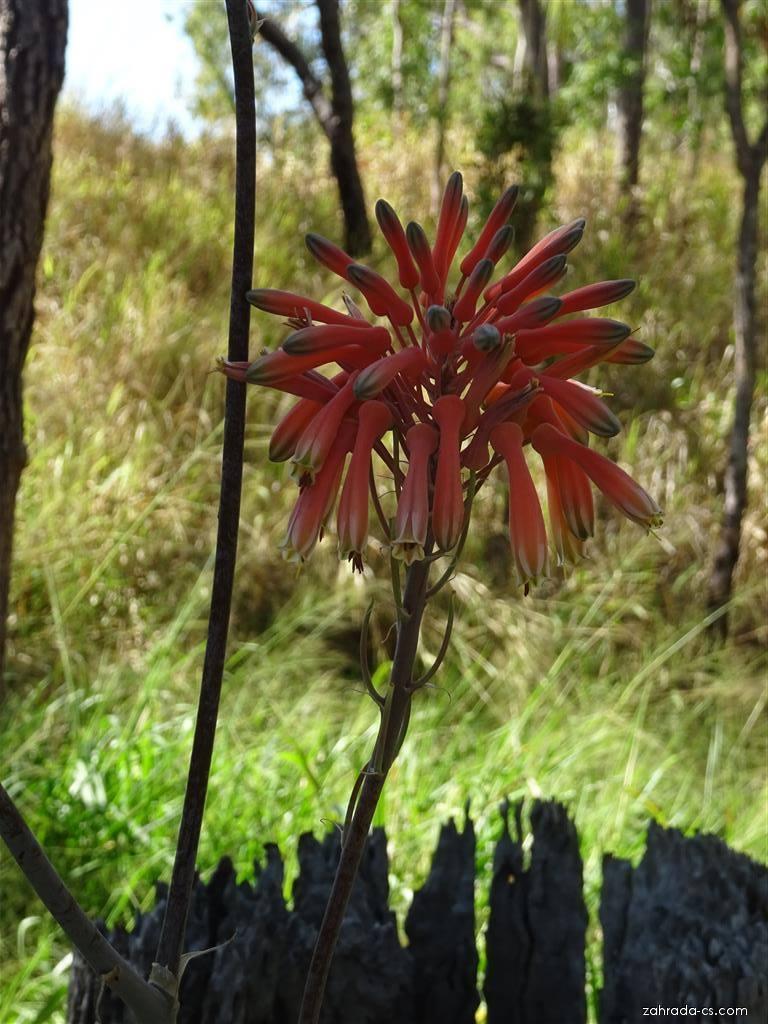 Aloe - květ (Aloe)