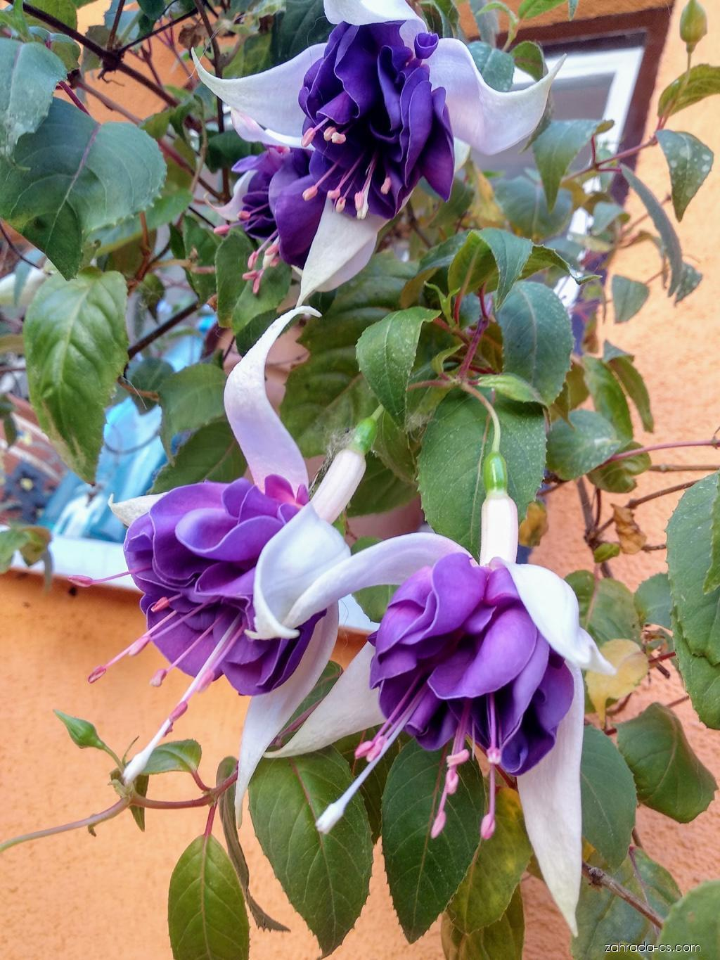 Fuchsie Deep Purple (Fuchsia)