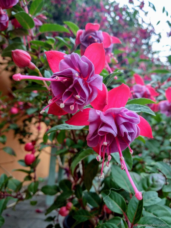 Fuchsie (Fuchsia)