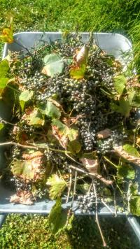 Vinná réva škůdci
