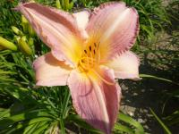 Denivka 'Gentle Hearts' (Hemerocallis)