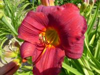 Denivka 'Scarlet Royalty' (Hemerocallis)