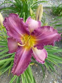 Denivka 'Chicago Knobby' (Hemerocallis)