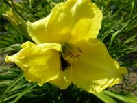 Denivka 'Girl Scout' (Hemerocallis)