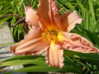Denivka 'Favourite' (Hemerocallis)
