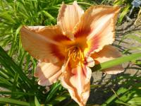 Denivka 'Zora' (Hemerocallis)