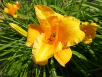 Denivka 'Orion' (Hemerocallis)