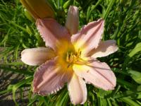 Denivka 'Nile Crane' (Hemerocallis)