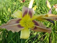 Denivka 'Julie' (Hemerocallis)