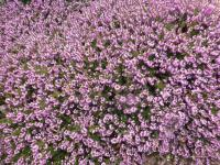 Erica carnea  'Winter Beauty'  - vřesovec pleťový