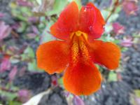 Kejklířka 'Magic mix' - květ (Mimulus x hybridus)