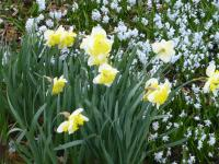 Narcissus  'Printal' - narcis