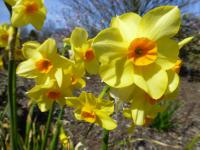 (Narcissus Martinette) Narcis