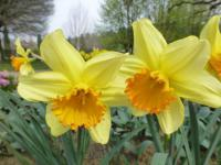 Narcissus  'Fortissimo'  narcis poupata