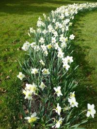 Narcissus  'Ice Folies' - narcis