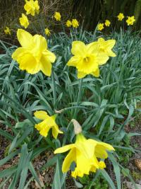 Narcissus  'Gigantic Star' - narcis