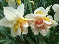Narcissus  'Amstel' - narcis