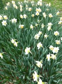 Narcissus 'Musca'  narcis rostlina