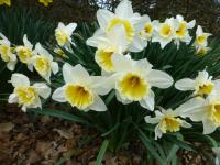 Narcissus 'Orange Ice Folies'  narcis rostlina