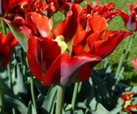 Tulipán 'Green Valley' (Tulipa x hybrida)