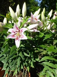 (Lilium x hybridum) Lilie 'Solution'