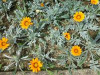 Gazánie zářivá 'Talent Orange' (Gazania rigens)