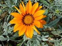 Gazánie zářivá 'Talent Orange' - květ (Gazania rigens)