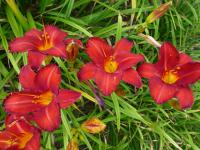 Hemerocallis 'Chicago Apache'  denivka rostlina