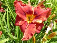 Hemerocallis   'Suddenly It's Autumn' - denivka