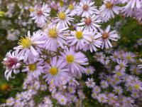 Hvězdnice 'Coombe Fishacre' (Aster lateriflorus)