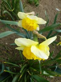 (Narcissus x hybridus) Narcis 'Curly'