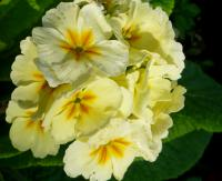 prvosenka Primula x polyantha  'You and Me Cream'